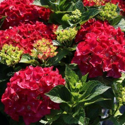 Hydrangea macrophylla Royalty® Collection 'Hot Red ®' hortenzia