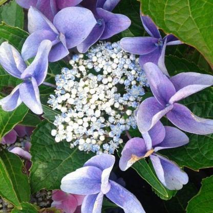 hydrangea-macrophylla-nizza-blue-kerti hortenzia kék virága