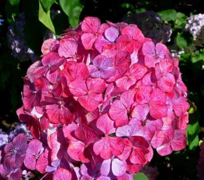Hydrangea serrata 'Preziosa' - hortenzia 1 A<strong> Preziosa</strong> nagyon különleges hortenzia. Gömb formájú, kb. 10 cm átmérőjű, tömött virágai vannak, melyek folyamatosan változtatják színűket.  <em>Kiszerelés: konténer, 3 l</em>