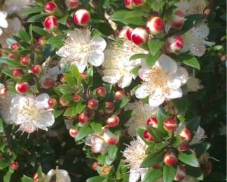 myrtus-communis-subsp-tarentina-florapont_virága