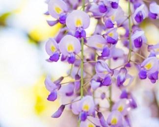 wisteria-floribunda-domino lilaakác virága