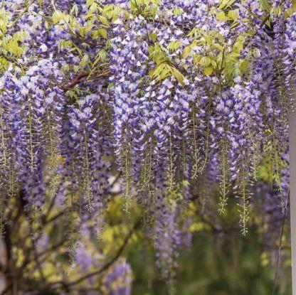 wisteria-floribunda-levander-lace lilaakác pergolán