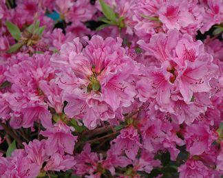 Azalea-japonica-purple-splendor