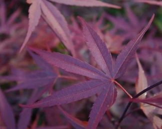acer-palmatum-beni-otake-japan-juhar-tavasz