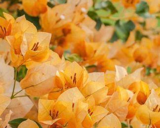 bougenvillea-murvafürt-california-gold