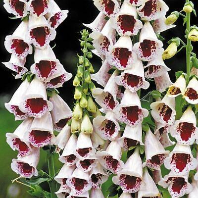digitalis elsey kelsey florapont kétnyári virág