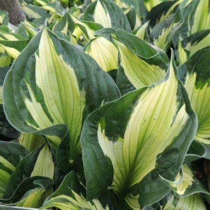 hosta-colored-hulk-hosta-first-frost-arnyekliliom