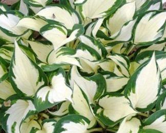 hosta-fireandice árnyékliliom