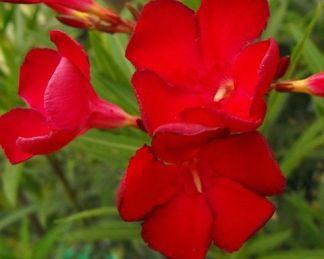 nerium-oleander-altini-leander
