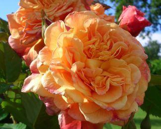 Aloha_ rózsa