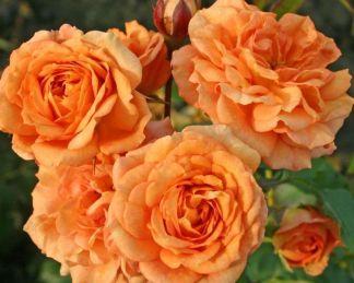 rózsa Bentheimer_Gold