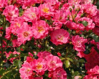 rózsa Bluehwunder08