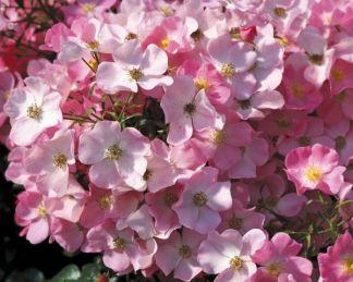 Fortuna talajtakaró rózsa