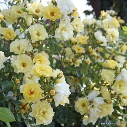 Goldspatz_kordes rózsa