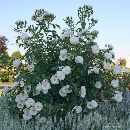 rózsa Innocencia