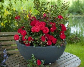 Miniatűr rózsák