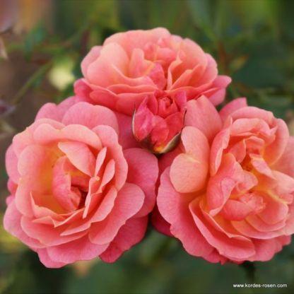 Peach-Melba futórózsa