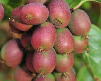actinidia-arguta-ananasnaya-kopasz-kivi-gyumolcs
