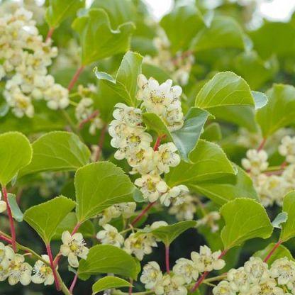 actinidia-arguta-issai-kopasz-kivi virága