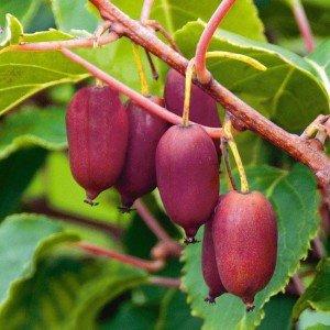 """Actinidia arguta 'Purpurna Sadowa'- kopasz kivi 1 <span class=""""st"""">Az<strong> Actinidia arguta 'Purpurna Sadowa' - kopasz kivi, japán egres. </strong>Mini kiwi. Ukrán fajta. Nagyon termékeny fajta, hosszú élettartamú gyümölccsel. </span>  <em>Kiszerelés: konténer, 2 l, 70-90 cm</em>"""