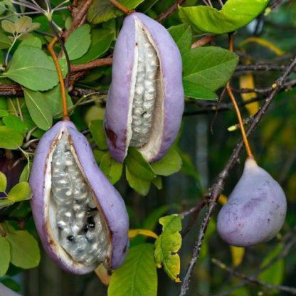 akebia-quinata-fruit