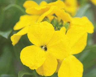 erysimum 'Cloth of Gold'