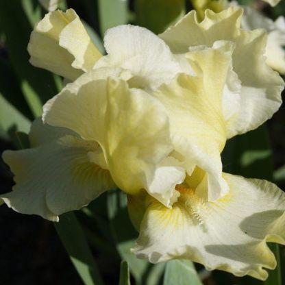 iris-barbata-nana-cotton-blossom-nőszirom