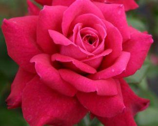 Bellevue teahibrid rózsa