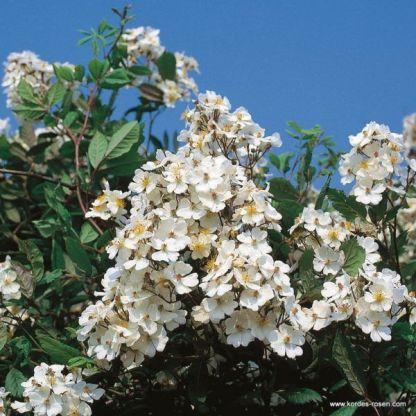 Multiflora vadrózsa
