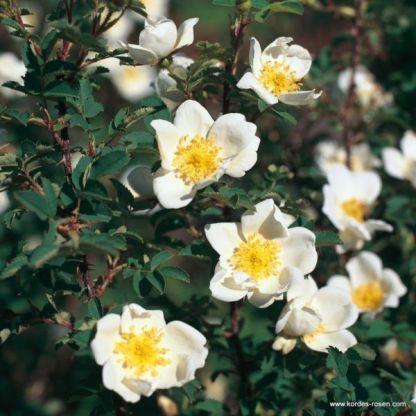 Pimpinellifolia jajrózsa