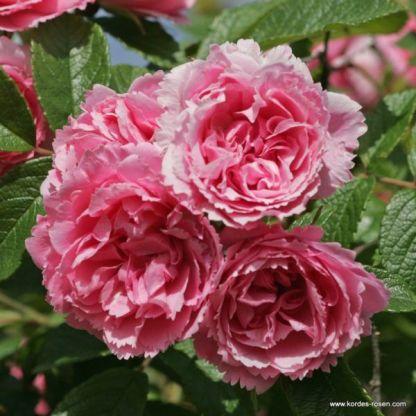 Pink_Grootendorst történelmi rózsa