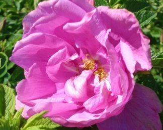 Roadrunner talajtakaró rózsa
