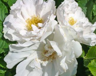 White_Roadrunner rózsa