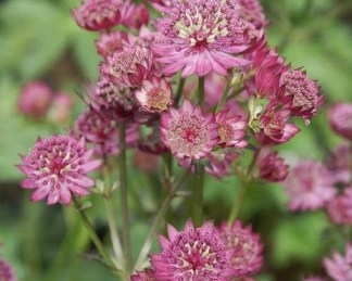 astrantia-major-star-of-beauty-volgycsillag
