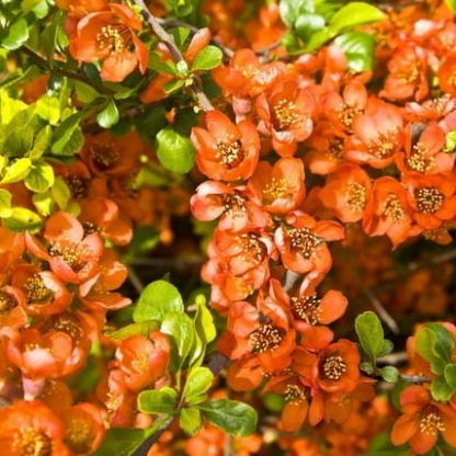 chaenomeles-japonica-cido-japan-diszbirs