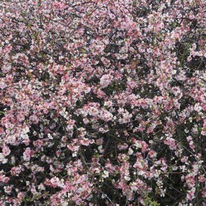 chaenomeles-speciosa-moerloosei.pompás-japanbirs