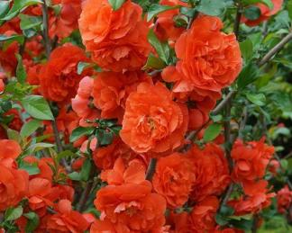 chaenomeles-superba-orange-storm-japan-diszbirs