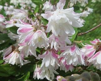 deutzia-scabra-codsall-pink-érdeslevelű-gyöngyvirágcserje