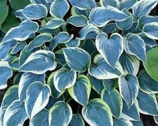 hosta-first-frost-arnyekliliom