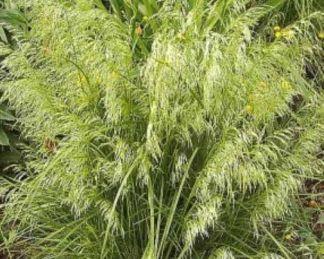 Deschampsia-Goldschleier gyepes sédbúza