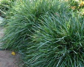 Sesleria caerulea (uliginosa) - lápi nyúlfarkfű