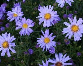aster-dumosus-blauer-zwerg-torpe-oszirozsa