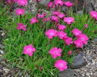 dianthus-kahori-pink-kahori-szegfu