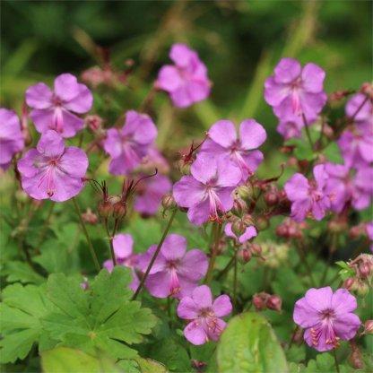 Geranium x cantabrigiense 'Karmina' - angol gólyaorr