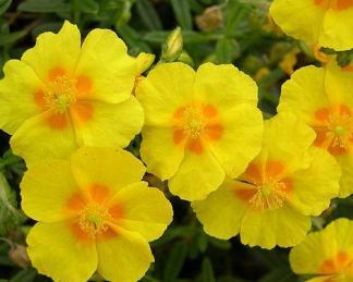helianthemum-ben-fhada-napvirag