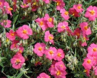 helianthemum-georgeham-napvirag