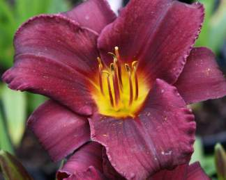 hemerocallis-stella-in-purple-sasliliom