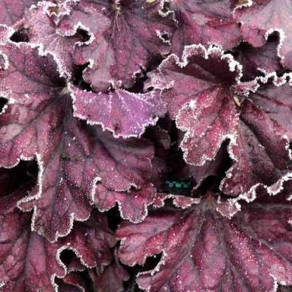 heuchera-forever-purple-tuzgyongyvirag levele