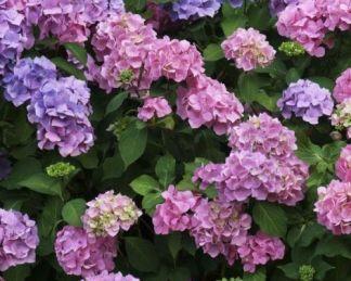 hortensia-macrophylla-boquet-rose-hortenzia