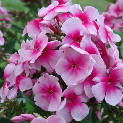 phlox-paniculata-sweet-summer-festival-bugas-langvirag